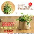 【広告の品につき、送料無料】観葉植物 アイビーの寄せ植えを風合い良い、麻袋に入れて※葉色はお任せ【観葉植物 ヘデラへリックス】