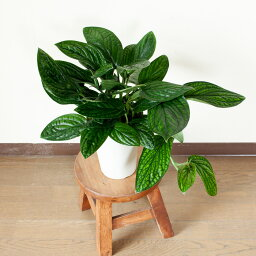 【予約品・6/4〜のお届け】めずらしいモンステラ・ジェイドシャト<strong>ルコック</strong>観葉植物 インテリア(今月の植物)