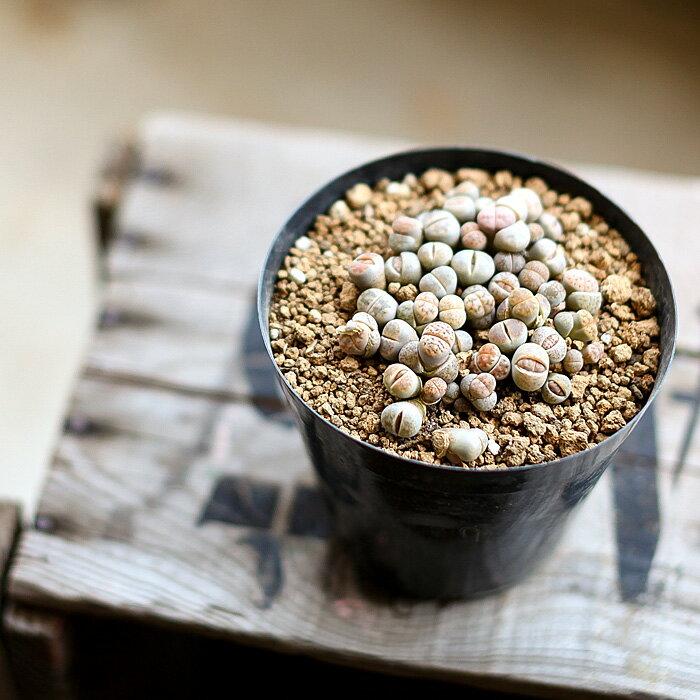 多肉植物 ばらまきリトープス【多肉 植物 寄せ植え】の紹介画像2