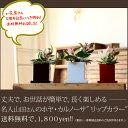RoomClip商品情報 - 観葉植物 ホヤ・カルノーサ【送料無料】