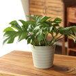 観葉植物 杉山さんの姫モンステラインテリア性も抜群の観葉植物です!