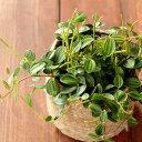 20鉢限定!6月から注文しておいたアングラータ、やっと入荷して来ました。ペペロミアの中では育てやすさトップクラススイカみたいな葉が可愛い、アングラータinジュートPOT(麻素材の鉢カバー)