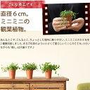 プチ。ちょっと試してみたくるなるチビGREENシリーズペペロミア・ジェミニor多肉植物グリーンネックレス2号苗です