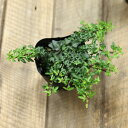 世界一 葉が小さいアイビー「スペチュリィ」。寄せ植えにしても可愛いよ♪【3号苗 ヘデラ へリックス】