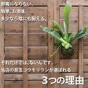 【試してほしいから、送料無料に!】観葉植物 コウモリランの苔玉【ビカクシダ インテリア】