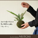 RoomClip商品情報 - 観葉植物・コウモリランの苔玉葉が美しい品種″ヴィーチ—″【ビカクシダ・ビーチ— 吊り下げ】