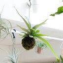RoomClip商品情報 - 【送料無料】コウモリランの苔玉葉が美しい品種″ヴィーチ—″おしゃれなインテリアとして。【ビカクシダ・ビーチ— 吊り下げ観葉植物】