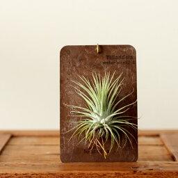 ●完売御礼!次回お届けは9/6〜まるで標本のように。「品種」も選べます!エアープランツを「育てたい」し「インテリア」としても飾りたい!そんな方は、この飾り方がお勧めです![観葉植物 ミニ][チランジア]