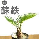 完売御礼!お届けは6/4〜蘇鉄ソテツ2.5号苗(今月の植物)