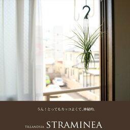 ●完売御礼!お届けは9/7〜【送料無料】イキイキ感が違う!希少種ストラミネアを、日本で葉を更新しなおしお届けします。お部屋に存在感。大型エアープランツ・ストラミネア