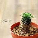 ちょっぴりレアな、多肉植物パイナップルみたいでとってもキュート♪蘇鉄麒麟(ソテツキリン)×1