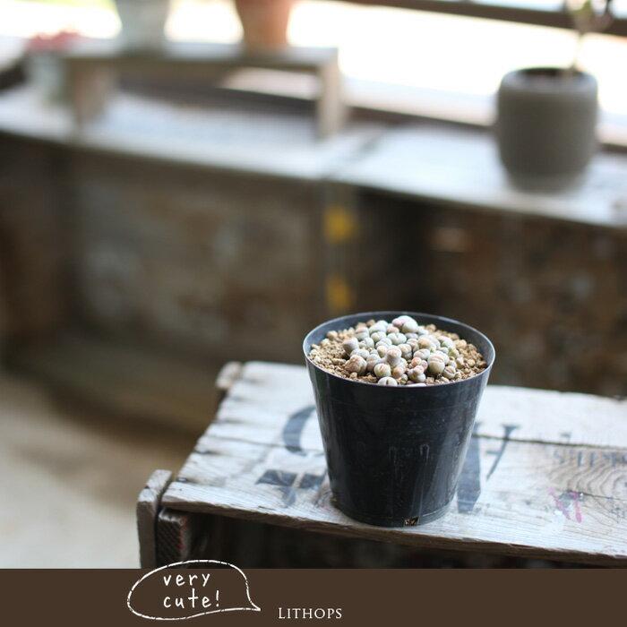多肉植物 ばらまきリトープス【多肉 植物 寄せ植え】の紹介画像3