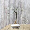 【送料無料】大人系モダンGREENお皿のようなスタイリシュな植木鉢に、姿が個性的な植物を植えて。【セロームまたは、ボトルツリー】