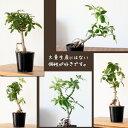 またまた完売!次回9/21〜のお届けこの風貌で、なんと「2.5号苗」サイズ!鉢が小さいので、アレンジしやすい。育てやすい観葉植物シェフレラを、3年かけて、盆栽っぽく仕立てました。
