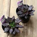 多肉植物 エケベリア ブラック プリンス クロスケ
