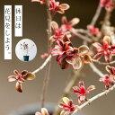 秋に花見?4年もかけて盆栽風に。コプロスマ「レインボーサプライズ」