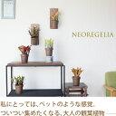 ●完売御礼!お届けは2/23〜これが観葉植物?とっても不思議。集めたくなる♪ネオレゲリアwith木製プレート※1つ、1つの個性が面白い商品となります。(写真は一例。どれが届くかはお任せです)