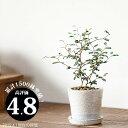 観葉植物 小さいサイズですが 枝のいいとこ選んでます。クネクネ♪人気のソフォラ ミクロフィラを キュートなカラー陶器に植えて。【ミニ観葉植物なので 室内にインテリアとして飾りやすい! リトルベイビー】