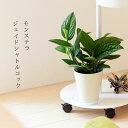 【予約品お届けは5/15~】観葉植物 今月のおすすめ!モンステラ・ジェイドシャトルコック