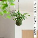 カンガルーファン(ミクロソリウム)の苔玉(今月の植物)