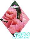 ロイヤルフルール オリエンタルポピー Princess Louise【楽ギフ_包装選択】【楽ギフ_メッセ入力】 【RCP】05P03Dec16
