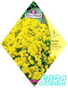 ロイヤルフルール アリッサム Golden Yellow【楽ギフ_包装選択】【楽ギフ_メッセ入力】 【RCP】05P03Dec16