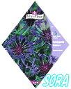 ロイヤルフルール マウンテンコーンフラワー Centaurea MONT【楽ギフ_包装選択】【楽ギフ_メッセ入力】 【RCP】05P18Jun16
