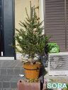モミの木 H1100〜1300 【RCP】05P03Dec16