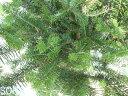 モミノキ 樹高H:3000mm 【RCP】05P03Dec16