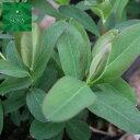 ヒペリカム カリシナム 10本 植木 苗