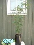 シマトネリコ 鉢植え シリンダー【楽ギフ包装選択】【楽ギフメッセ入力】 【RCP】05P13Dec14