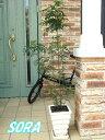 玄関先に置くと涼しげな雰囲気!!縦長の四角い陶器鉢 シマトネリコ 鉢植え Aタイプ