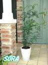 玄関先に置くと涼しげな雰囲気!!丸い陶器鉢 シマトネリコ 鉢植え Cタイプ