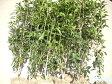 金木犀H1300〜1500 10本 【RCP】05P23Apr16