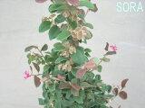 青葉は3月の中頃から5月にかけて濃い紅色の花を咲かせる!! ベニバナトキワマンサク・青葉紅花常盤満作 H900〜1100 20本