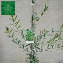 オリーブ ネバディロブランコ H700〜900 5本