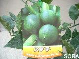 5个或更多!约1每30克醋,橘子!大二sudachi[1個約30gの酢ミカン!!スダチ 2年生]