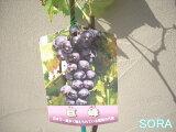 5或更多!大多数葡萄种植代表在日本!大二小道消息小道消息[5本以上で!! 日本で一番植えられている葡萄の代表!!ぶどう?葡萄?ブドウ 巨峰 2年生]