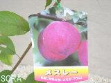 スモモ メスレー 2年生 【RCP】05P01Mar15