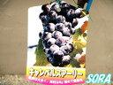 ブドウ キャンベルスアーリー 2年生 【RCP】5本以上で送料無料!代引き不可!