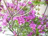 开紫色的花的kurumetsutsuji。 久留米杜鹃?杜鹃?kurumetsutsuji(紫色)10个[紫色の花を咲かせるクルメツツジ。 久留米躑躅?つつじ?クルメツツジ(紫) 10本]