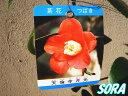 侘助 天倫寺月光 12cmポット 1本 【RCP】05P03Dec16