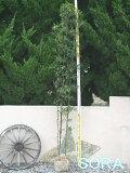 クロチク 株立 樹高 H:1500mm 【RCP】05P01Mar15