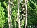 ケヤキ 単木 樹高 H:2500mm 【RCP】05P03Dec16