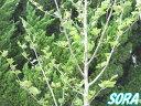 コブシ 単木 樹高H:2000mm 【RCP】05P18Jun16