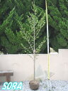 コブシ 単木 樹高H:2500mm 【RCP】05P18Jun16