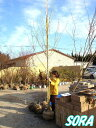 ソメイヨシノ 単木 樹高 H:3500mm 【RCP】05P18Jun16