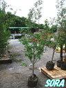 クヌギ 単木 樹高H:2000mm 【RCP】05P03Dec16