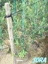 オリーブ ネバディロブランコ H1100〜1300mm 【RCP】05P03Dec16