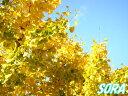 イチョウ 単木 樹高H:2000mm